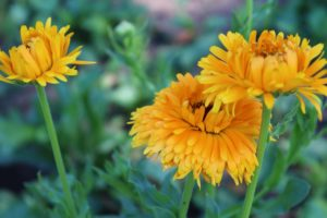 Calendula growing at Halstead Farm