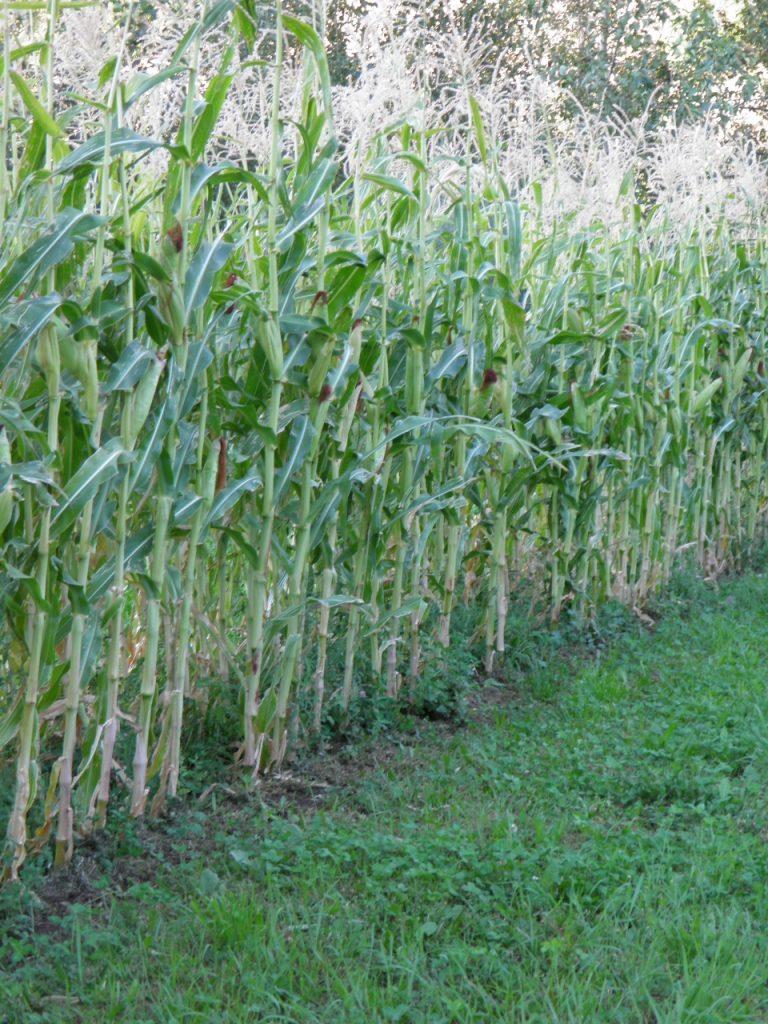 Good Corn Yield, September 2017
